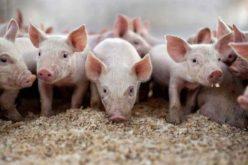 Cetățenii din Șieu-Măgheruș dezbat autorizația de mediu a fermei de porci PIG EXPRESS