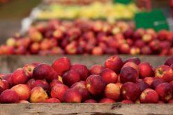 Lichidatorii MIRO SA vând mere din ferma de la Petriș ca să facă rost de bani