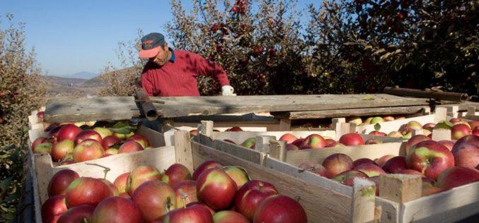 Cu producție bună în acest an, POMBIS livrează fructe și sucuri în marile supermarketuri