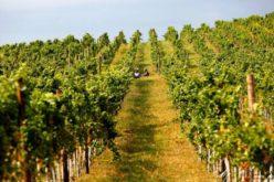 Crama Liliac, cu vie la Vermeș-Lechința, producătorul celui mai scump vin din România, a crescut cu 30% în 2017