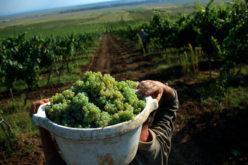 PROWINE AGRO Bistrița, lângă faliment. Lichidatorii săi scot la licitație 280 ha de vie în județul Galați