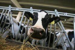 Un fermier din Dumitra investește 7,5 mil. lei într-o fermă de vaci cu lapte și echipamente de procesare