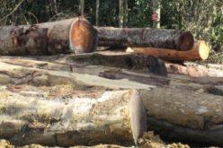 Ca să nu piardă clienți, Austroforest International a scăzut prețul la lemn