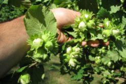 Un bistrițean curajos înființează o plantație de 10 ha cu pruni și aluni la Feleac