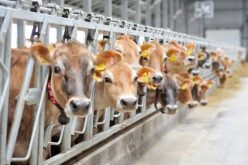 Un antreprenor bistrițean va construi la Tărpiu o fermă pentru 200 vaci
