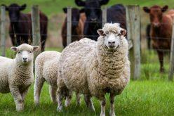 Zootehnia zbârnăie în Bistrița-Năsăud: locul 3 pe țară la bovine și locul 2 la ovine